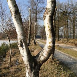 Hout van de berk als openhaardhout
